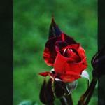 Rose di Roma, Il Roseto Comunale - Michele Settembre